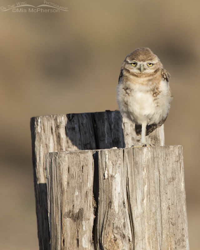 Looks like this juvenile Burrowing Owl needs some coffee!
