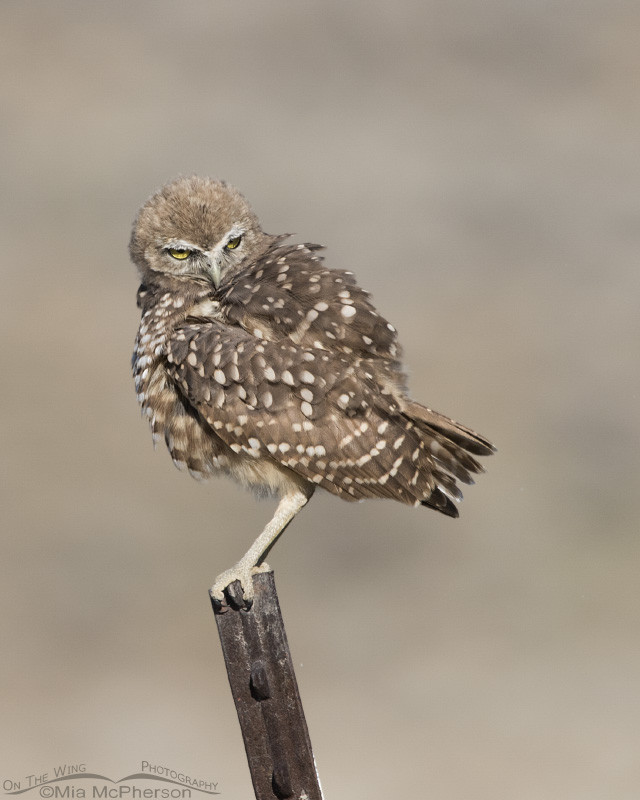 A juvenile Burrowing Owl looking at a vole on the ground