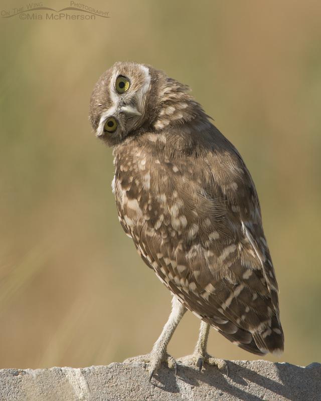 Curious young Burrowing Owl