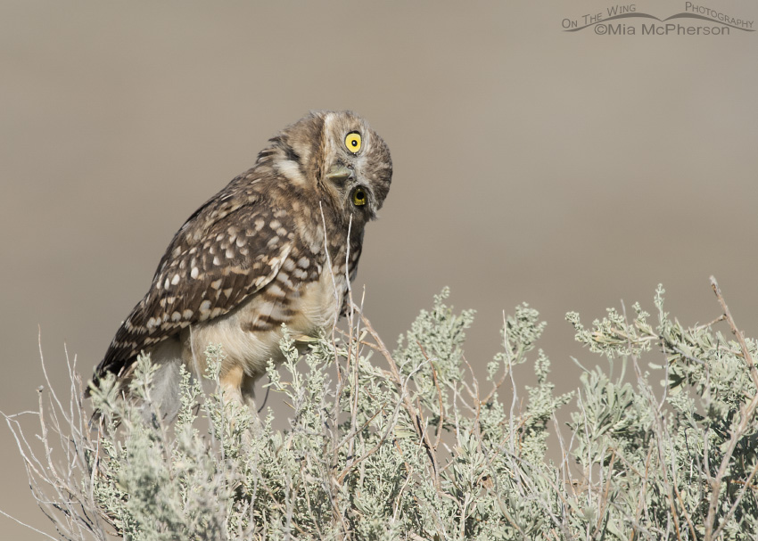 A juvenile Burrowing Owl parallaxing on a sagebrush