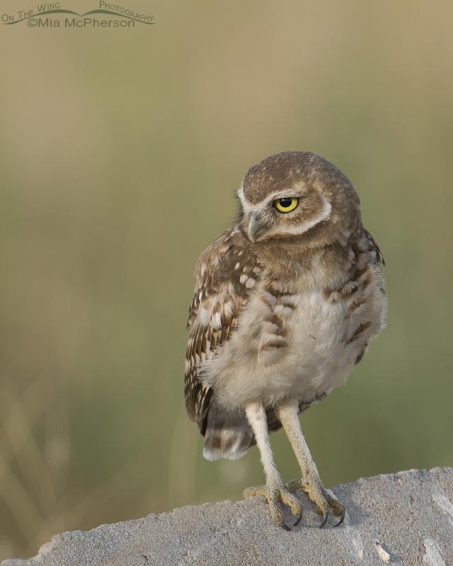 Serious looking juvie Burrowing Owl