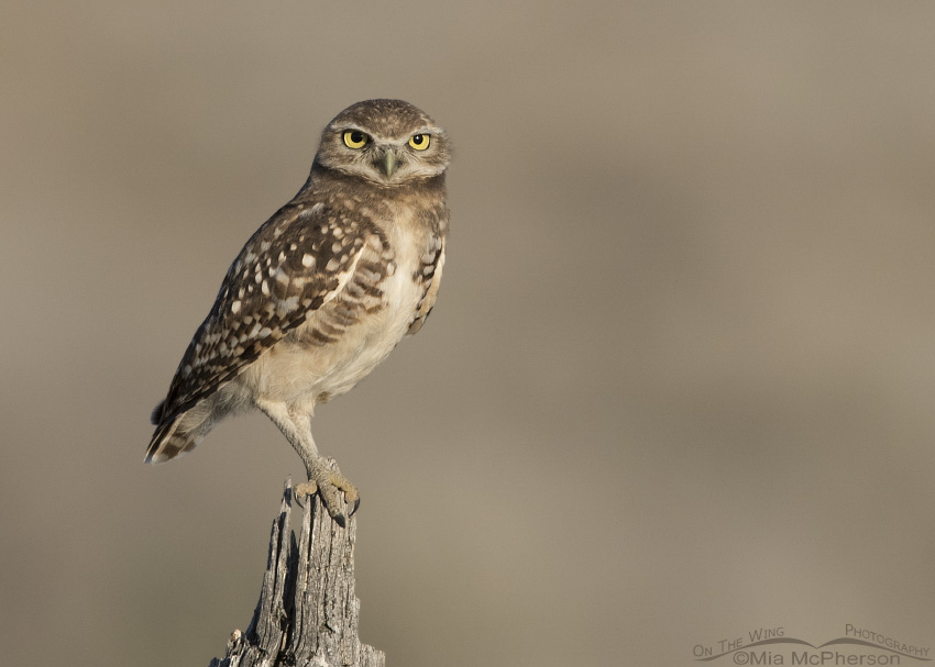 A juvenile Burrowing Owl perched on a gnarly fence post