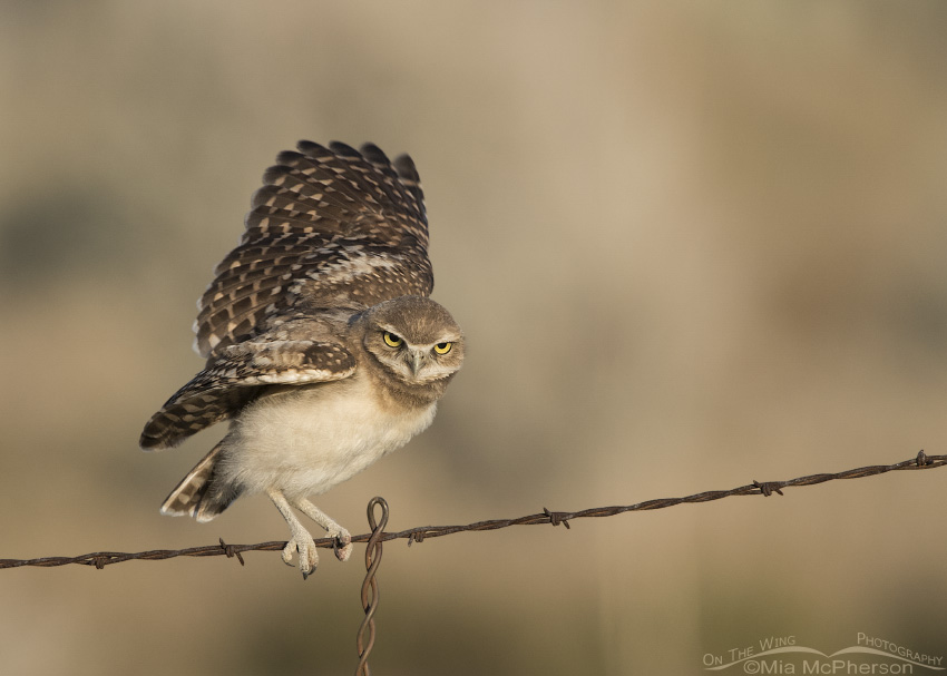 A young Burrowing Owl fluttering on a fence