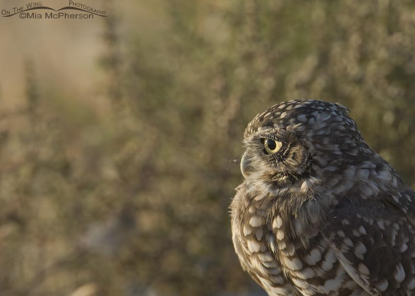 Juvenile Burrowing Owl at dawn