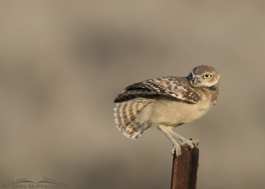 Wind blown juvenile Burrowing Owl