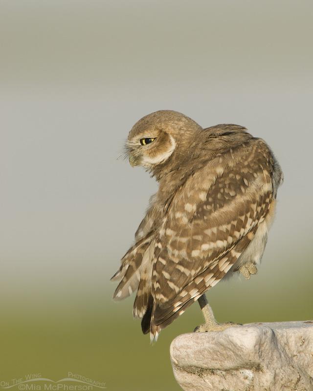 Preening juvenile Burrowing Owl