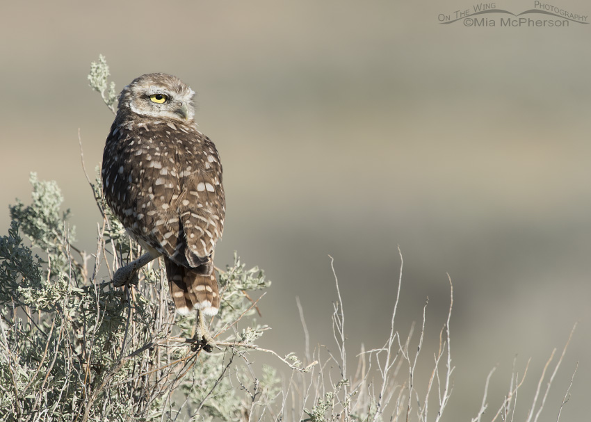 Burrowing Owl juvenile with a firm grip on sagebrush