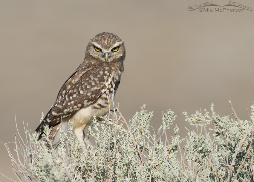 A juvenile Burrowing Owl stare down