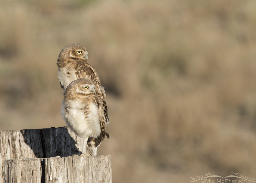 A pair of Juvenile Owl siblings perched on posts