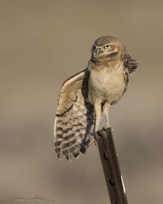 Burrowing Owl juvie stretching one wing