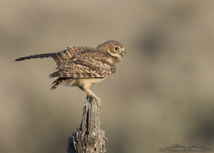 Juvenile Burrowing Owl a split second after landing on a wooden post