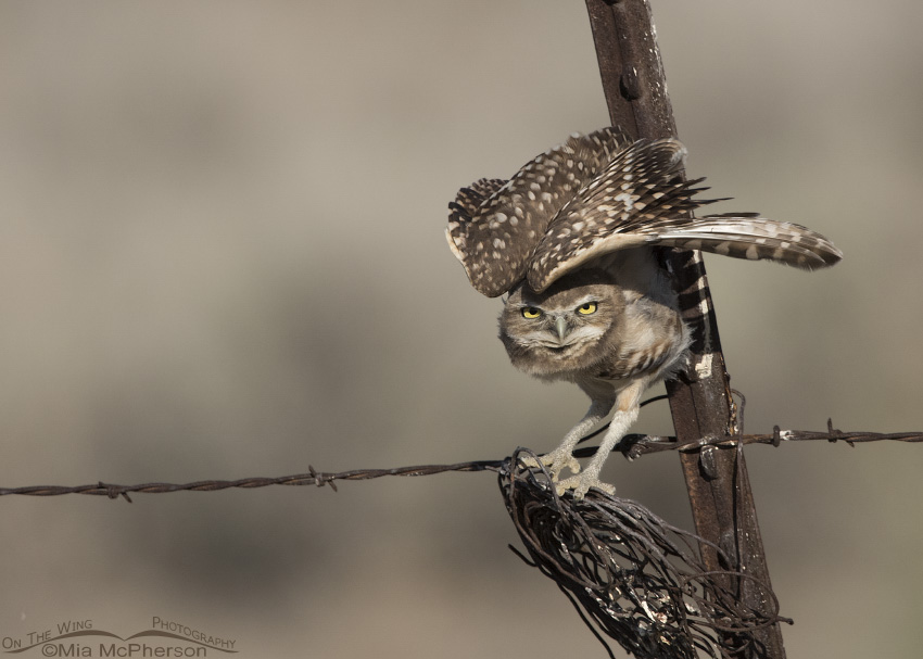 Juvenile Burrowing Owl stretching on a fence