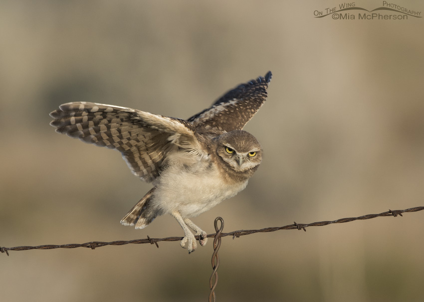 A juvenile Burrowing Owl getting its balance
