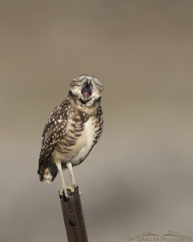 A huge yawn from a juvenile Burrowing Owl