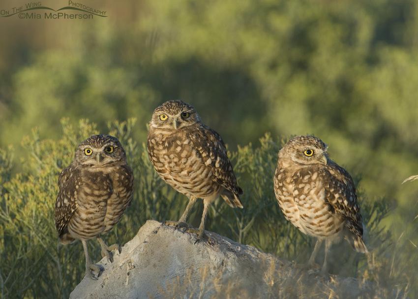 Three juvenile Burrowing Owls