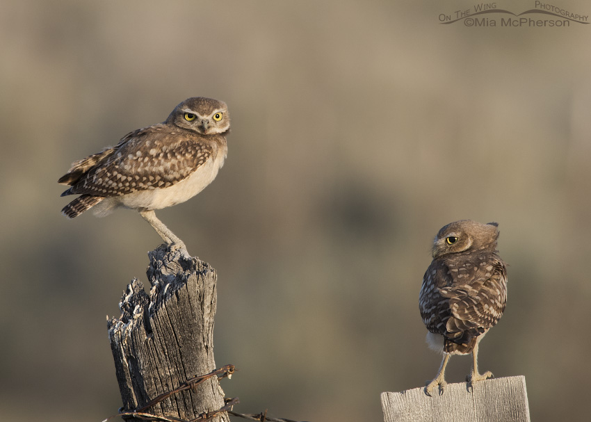 A pair of young Burrowing Owls in early morning light