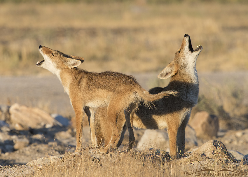 A mated pair of Coyotes singing in the morning light