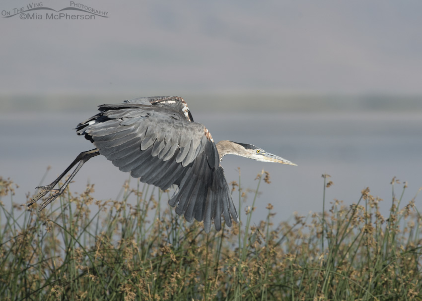Great Blue Heron lifting off from a stand of rushes