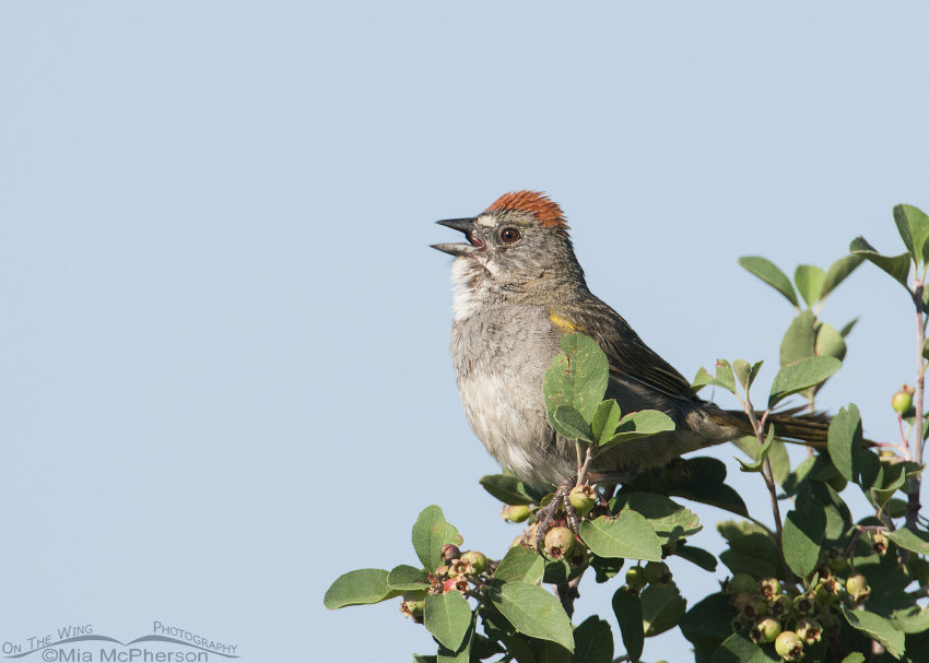 Green-tailed Towhee singing in the Uinta Wasatch Cache National Forest