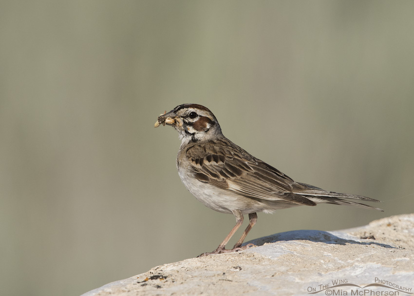 An Adult Lark Sparrow with Prey