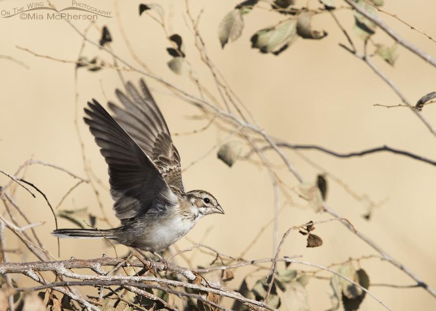 A landing juvenile Lark Sparrow