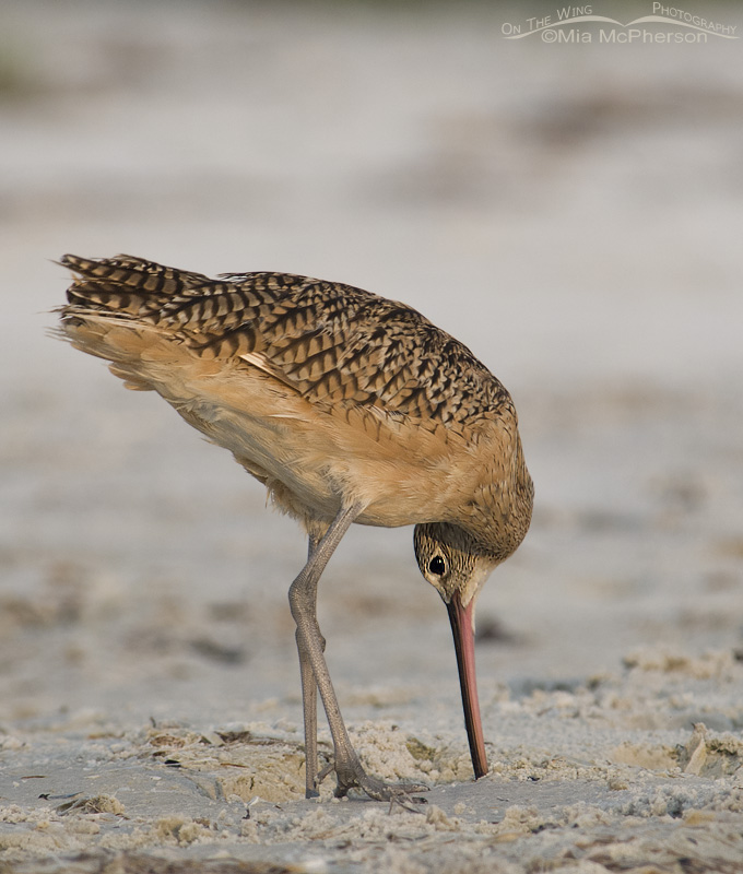 A Long-billed Curlew with is head all twisted around