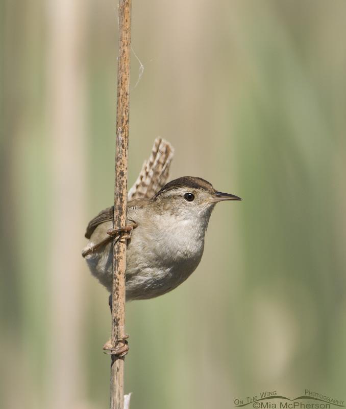 Marsh Wren on a reed