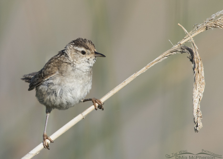 A fluffed up Marsh Wren