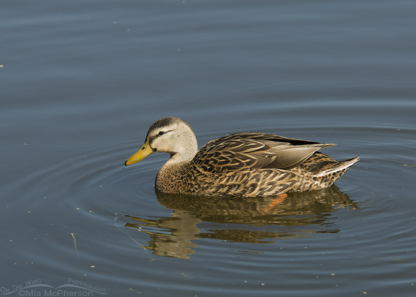 Mottled Duck at Lake Seminole