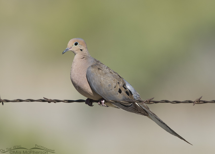 An adult Mourning Dove on barbed wire
