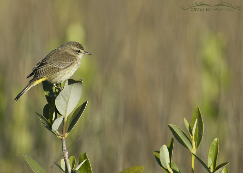 Palm Warbler on Mangrove