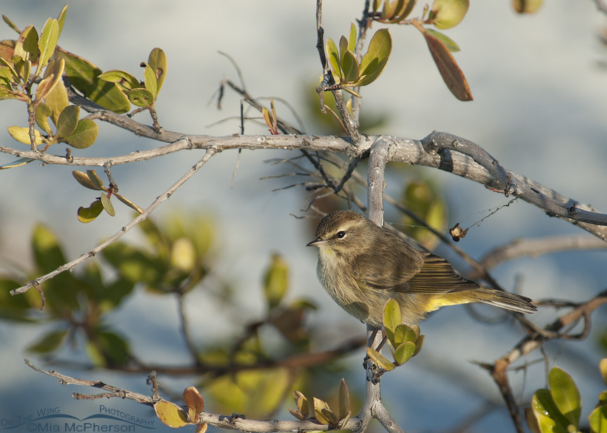 Palm Warbler in a mangrove on the beach