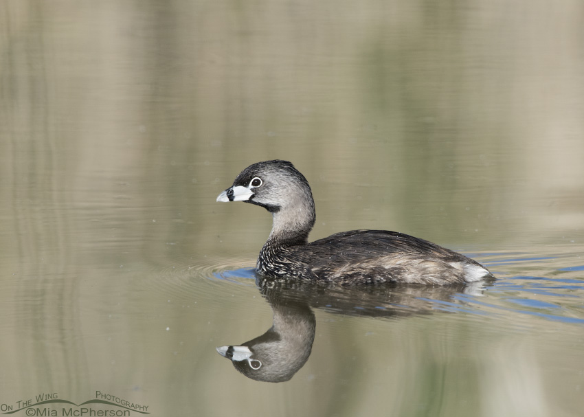 Pied-billed Grebe Images