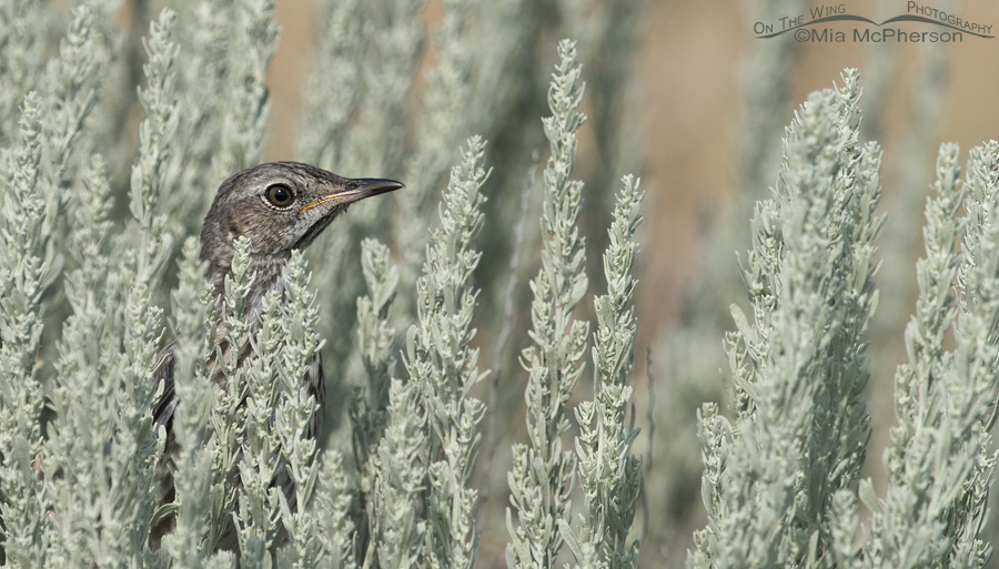 A young Sage Thrasher in Sage