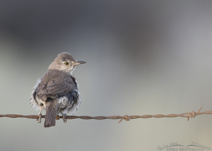 A young Sage Thrasher on barbed wire