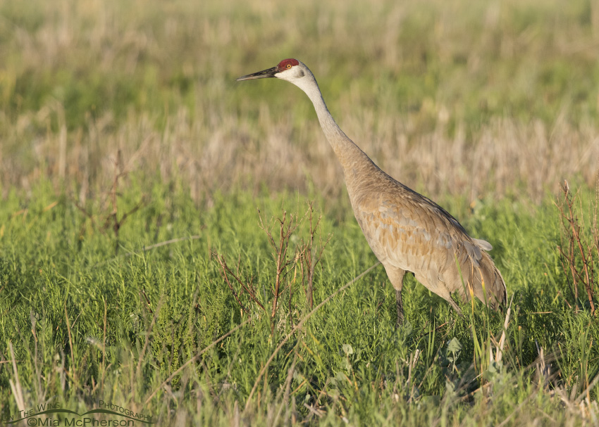 Sandhill Crane right after the sunrise