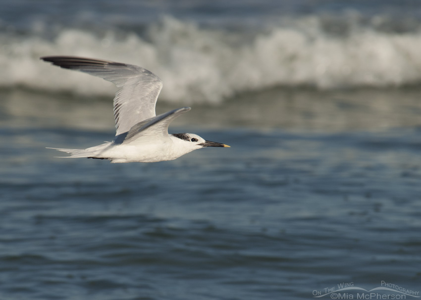 A Sandwich Tern on the wing over the Gulf of Mexico
