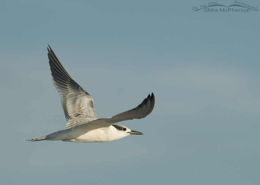 Juvenile Sandwich Tern in flight