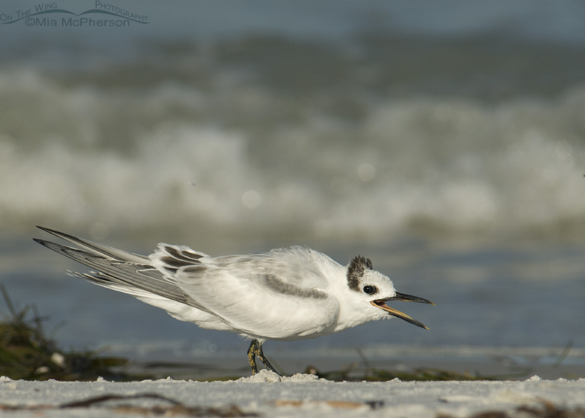Young Sandwich Tern begging