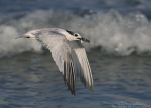 Sandwich Tern flyby