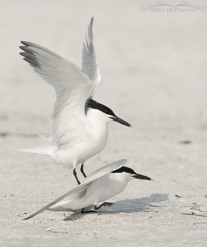 Sandwich Terns mating on the north beach