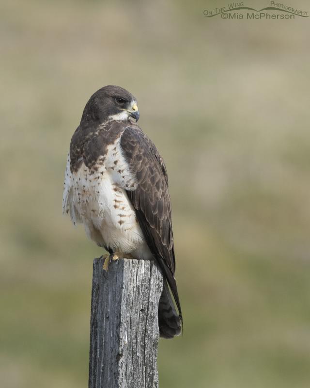 Resting female Swainson's Hawk