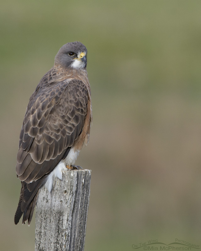 Swainson's Hawk male on an old fence post