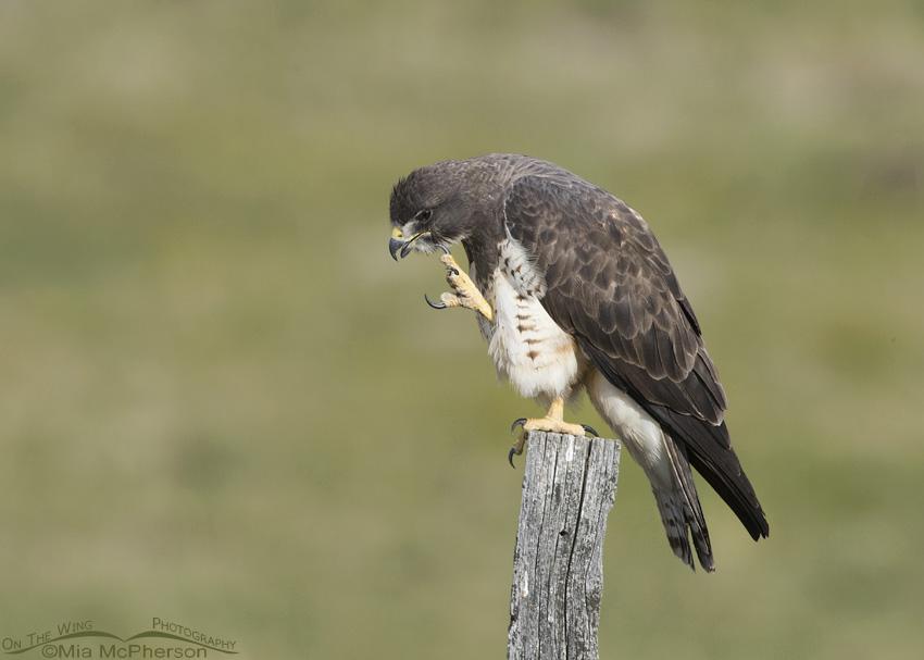 Female Swainson's Hawk scratching her head