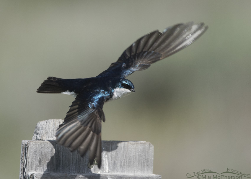 A Tree Swallow defending its nest