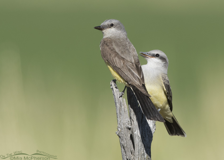 An adult and juvenile Western Kingbird perched together