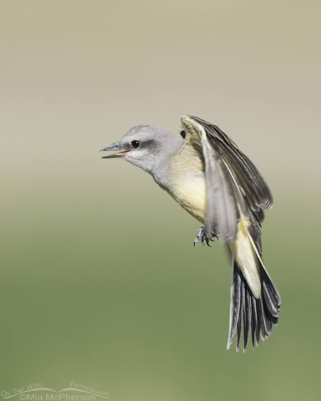 Juvenile Western Kingbird hovering near an adult