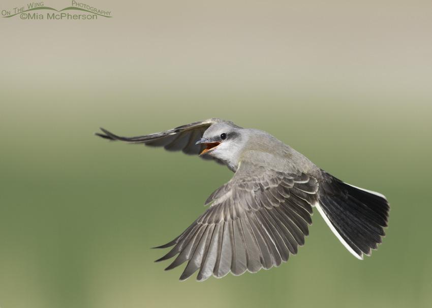Juvenile Western Kingbird hovering in flight