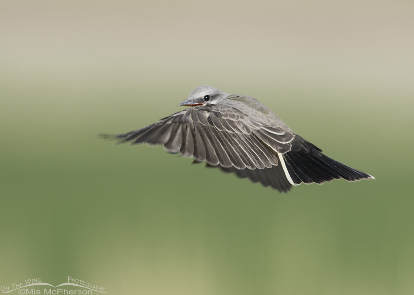 Juvenile Western Kingbird calling while in flight