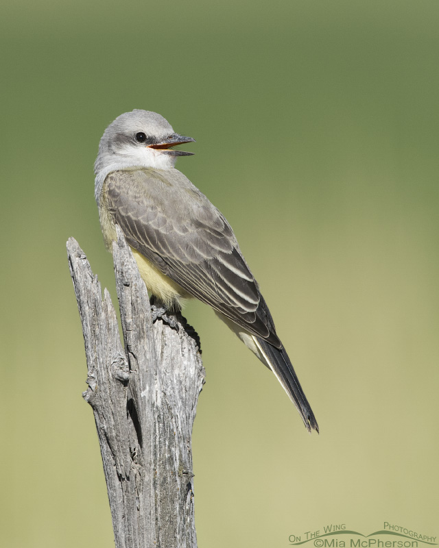 Juvenile Western Kingbird begging for food while perched
